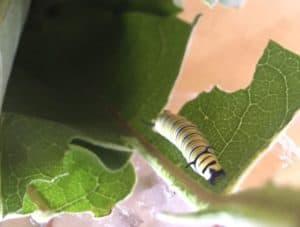raising monach butterflies